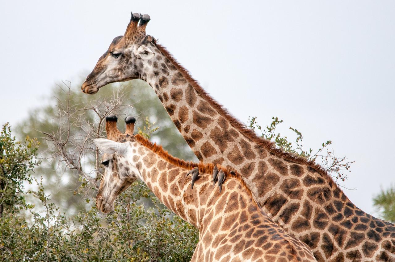 Giraffes feeding in Kruger National Park