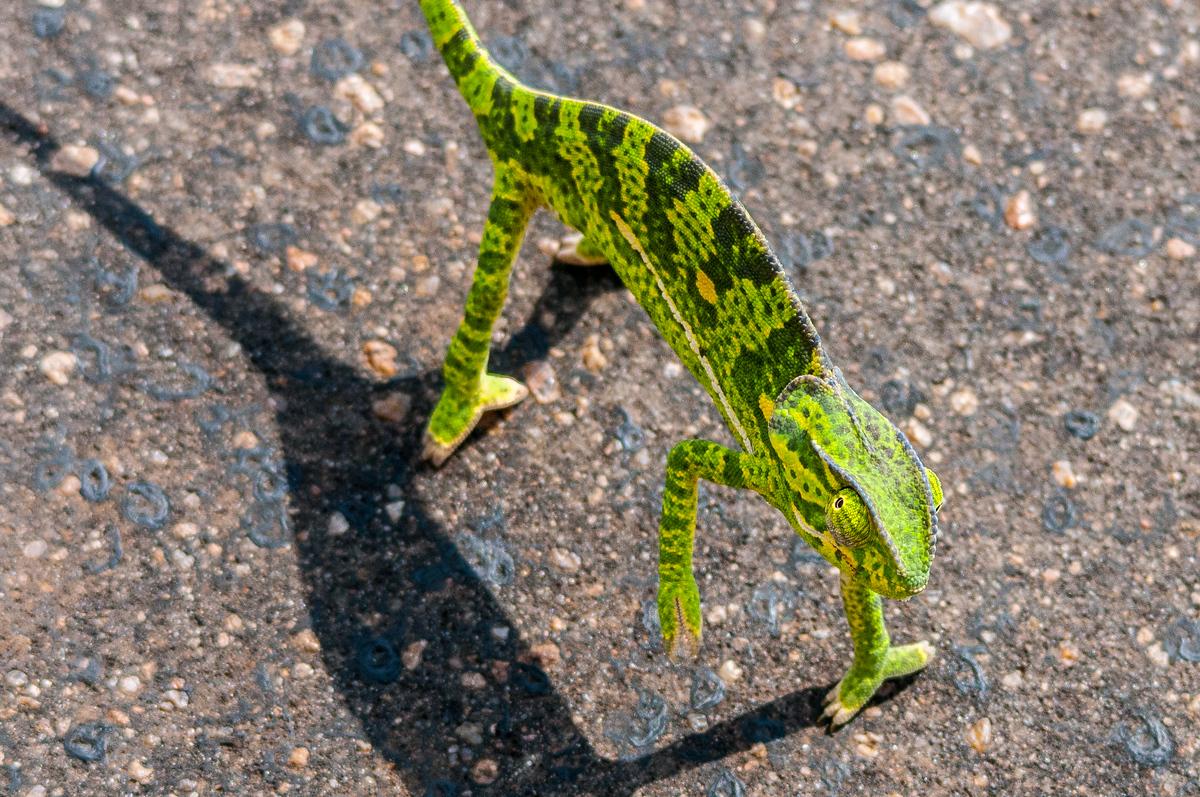 A Chameleon Looking Up in Kruger National Park