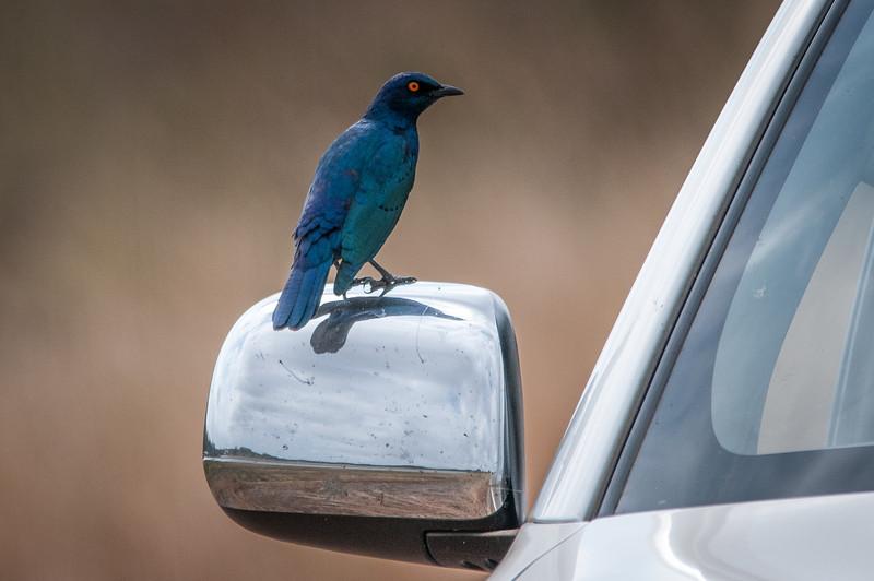Bird resting on side mirror in Kruger National Park