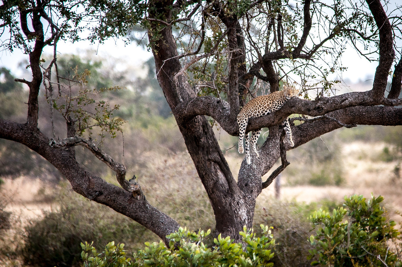 Leopard in a tree in Kruger National Park