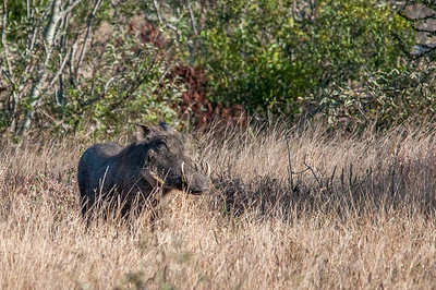 Blue wildebeest in Kruger National Park
