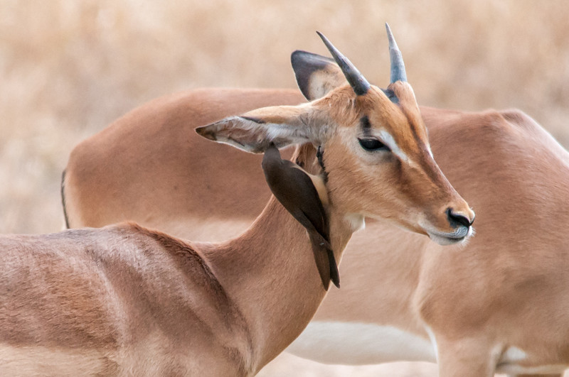 Antelopes in Kruger National Park