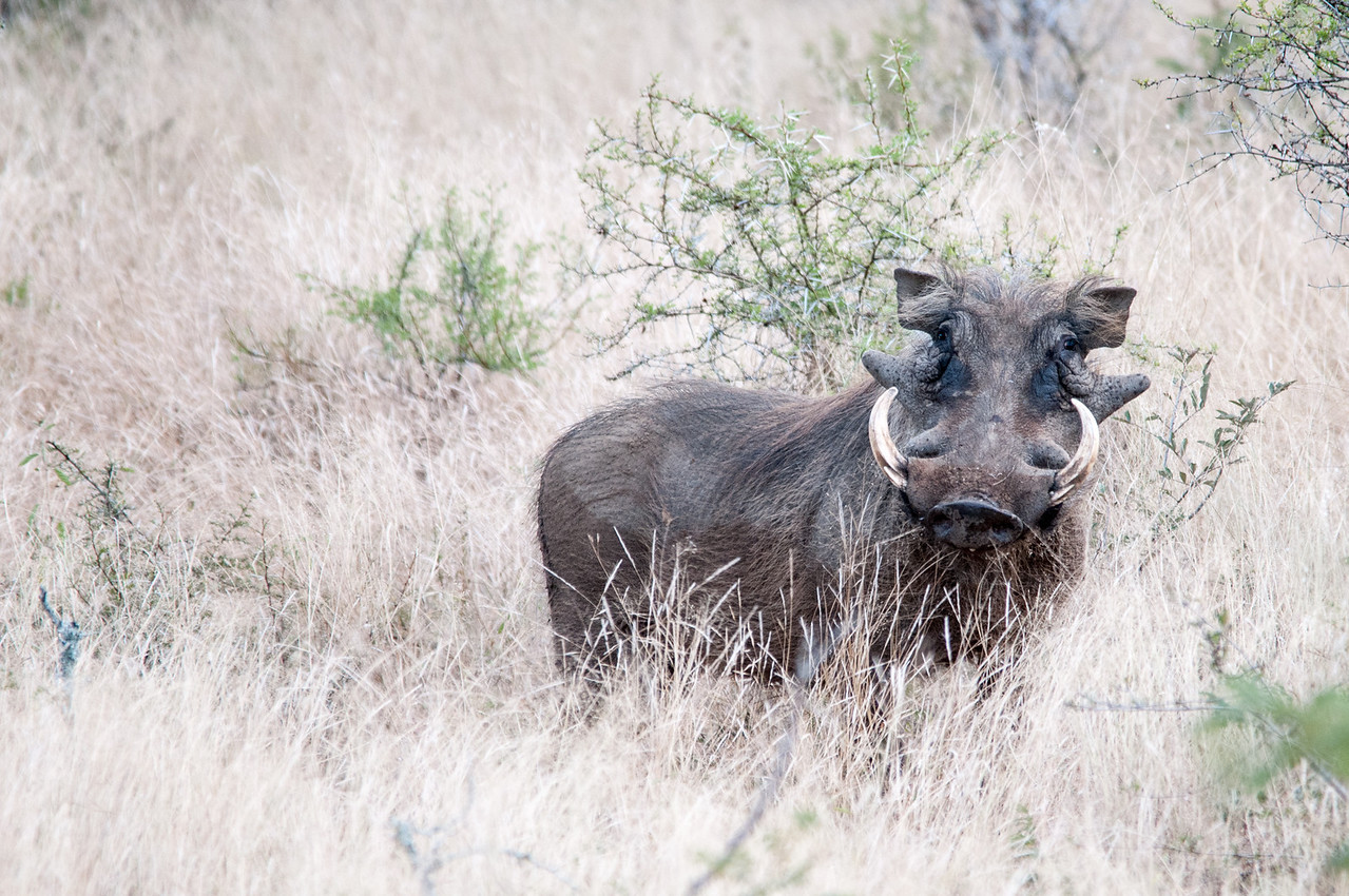 Buffalo in Kruger National Park
