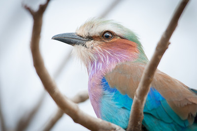 Lilac-Breasted Roller in Kruger National Park
