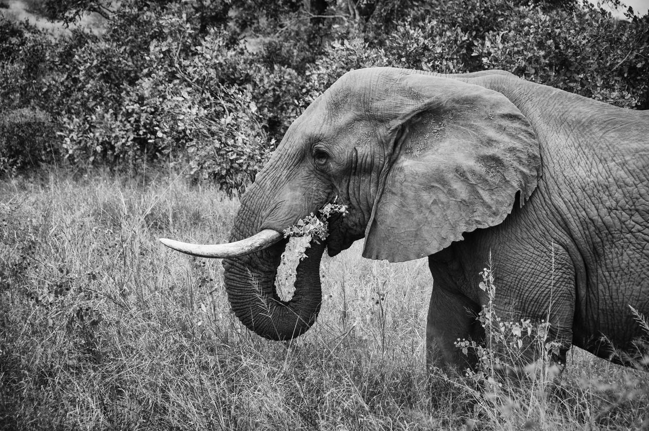Elephant feeding in Kruger National Park, South Africa