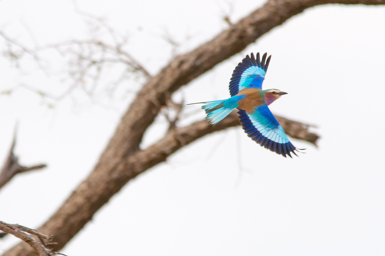 Lilac-breasted roller in flight at Kruger National Park
