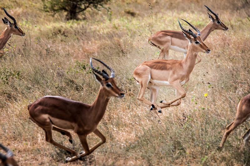 Antelopes running in Kruger National Park