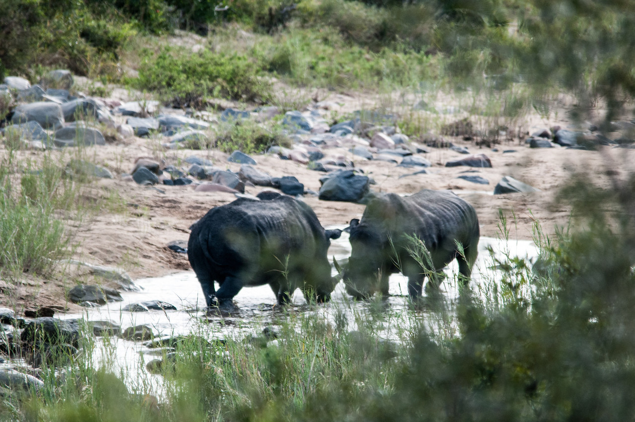 Rhinoceros in Kruger National Park