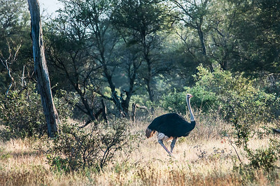 Ostrich in Kruger National Park