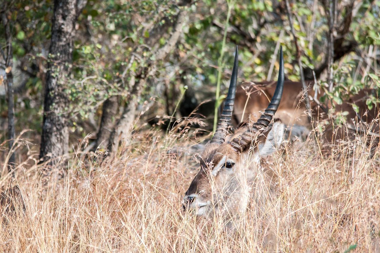 African gazelle in Kruger National Park