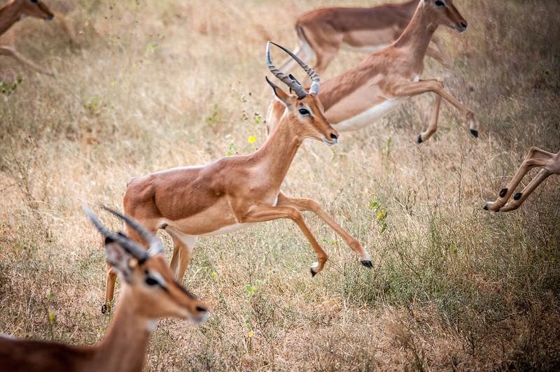 Young African gazelles in Kruger National Park