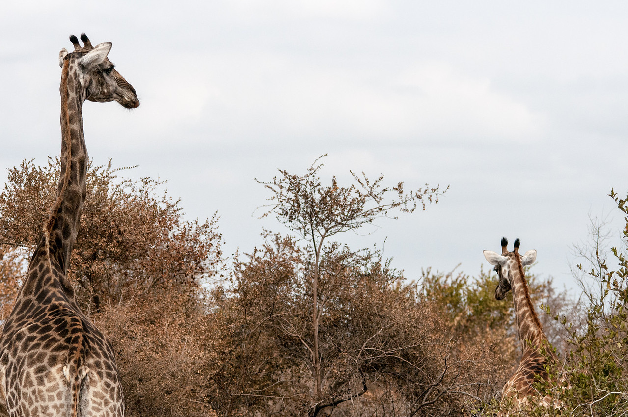 Giraffe at Kruger National Park
