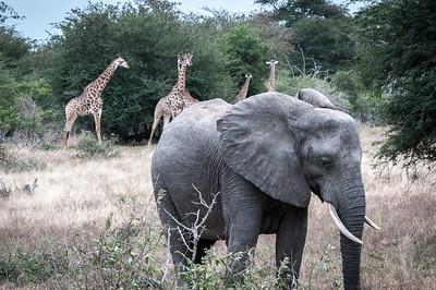 Elephant and giraffes at Kruger National Park