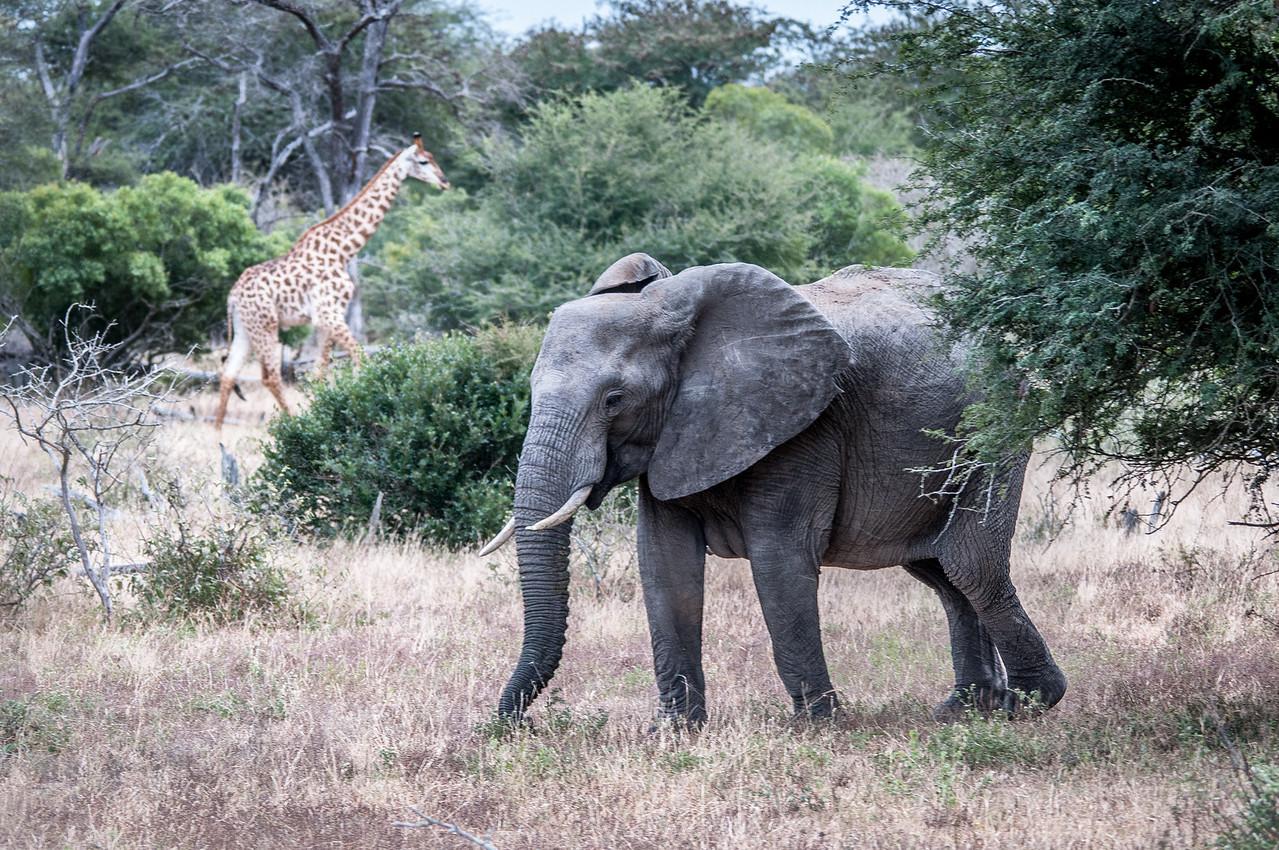 Elephant and giraffe at Kruger National Park