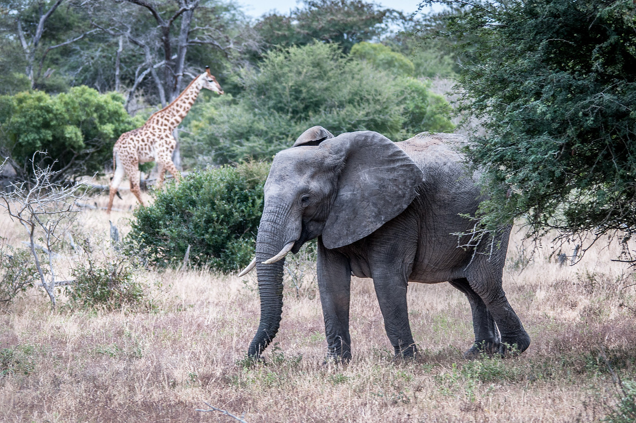 Elephant and giraffe at Kruger National Park