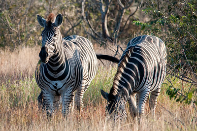 Burchell's Zebra in Kruger National Park