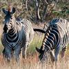 Burchell's Zebra in Kruger National Park