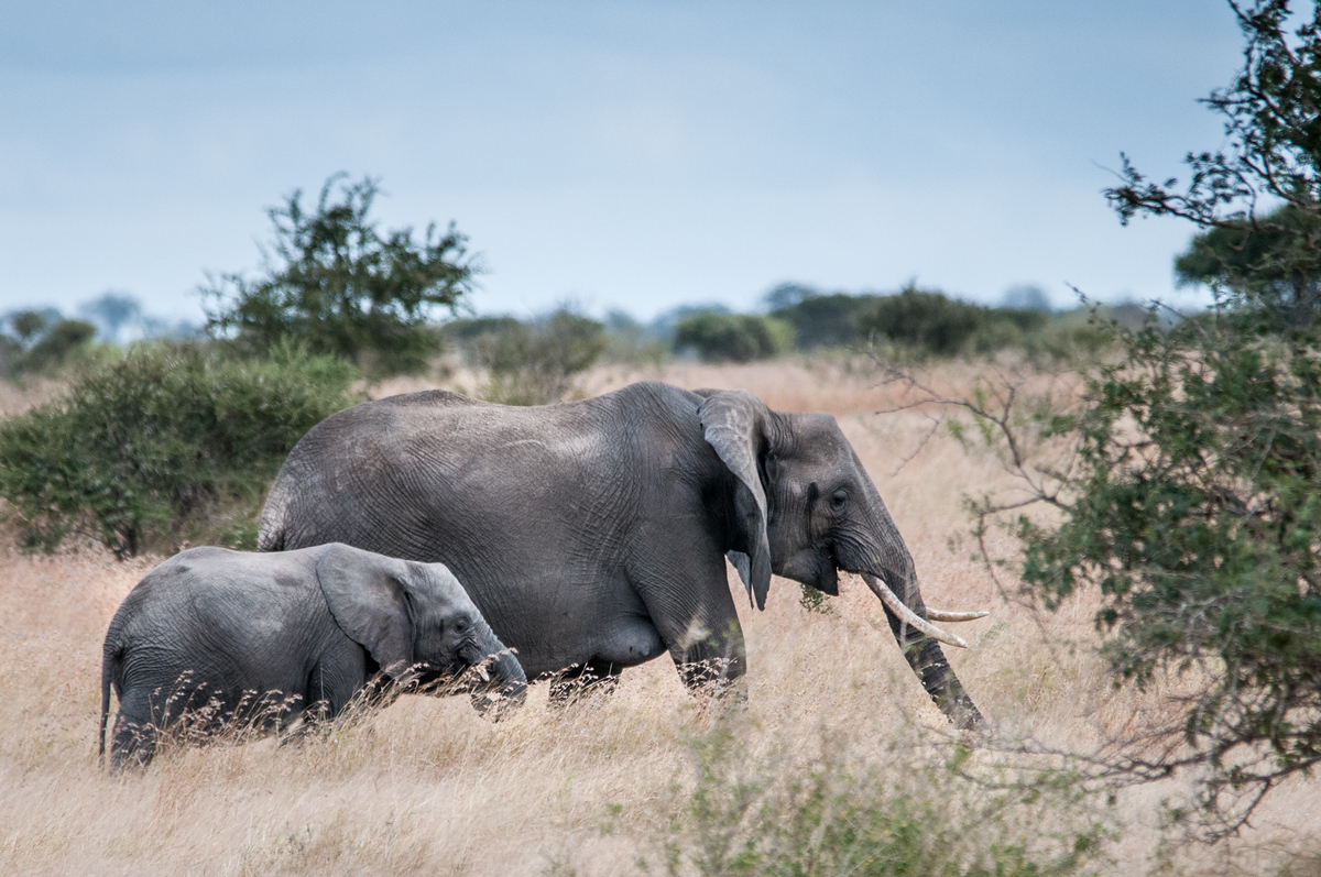 Mother Elephant and Child in Kruger National Park