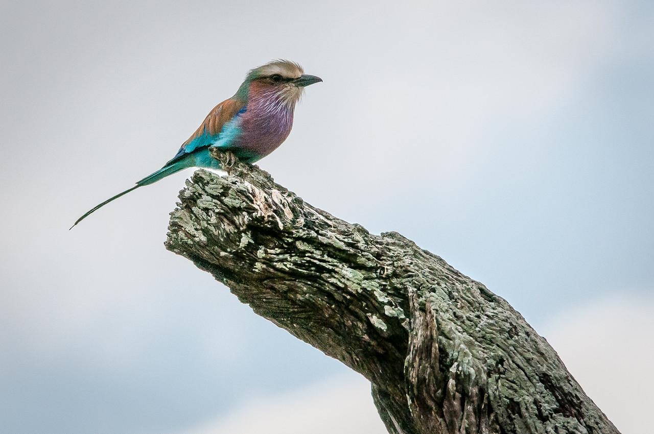 Lilac-breasted roller in Kruger National Park