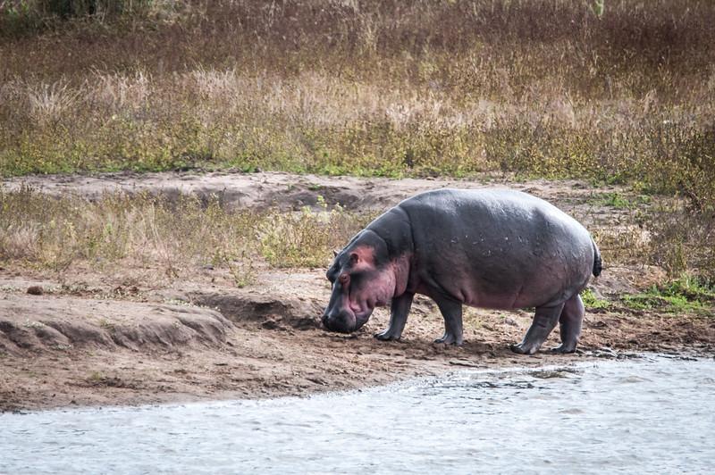 Rhinoceros in Kruger National Park