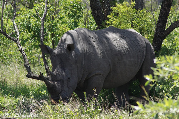 A rhino in Kruger NP, South Africa