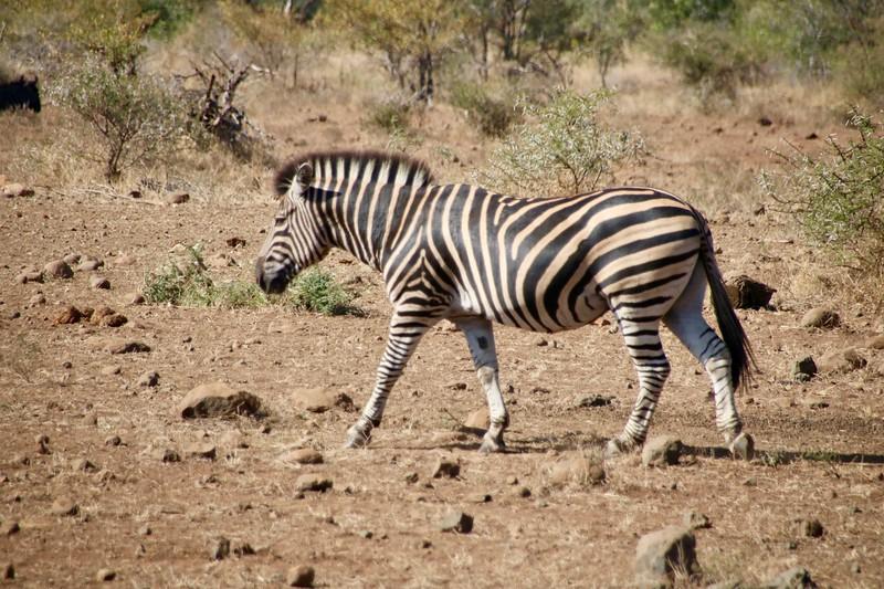 Zebra - Kruger Ulusal Parkı