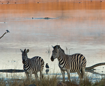 Burchell's zebras alongside lake.  Note the Pied kingfisher on left of photo.