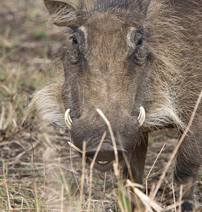 Warthog smiling for the camera