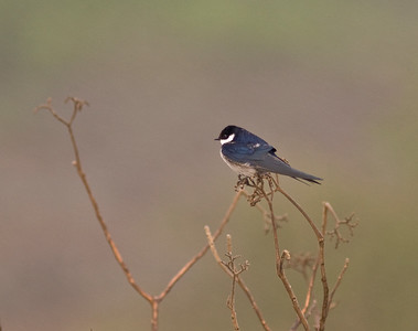 White throated swallow???