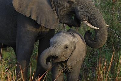 African elephant family, Tembe National Elephant Reserve