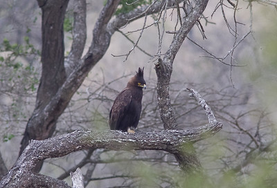 Long-crested eagle???