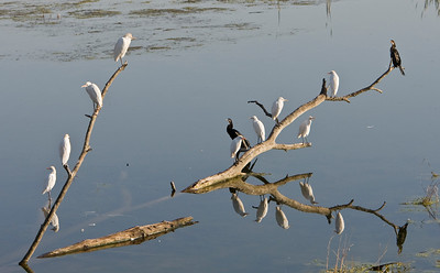 Egrets and African darters