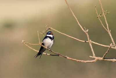 White-troated swallow???