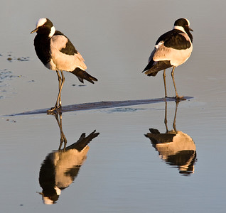 Blacksmith plovers