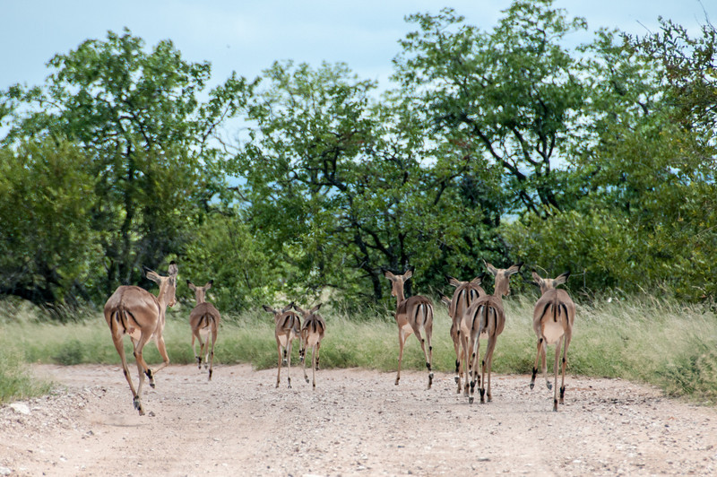 Antelopes in Mapungubwe National Park, South Africa