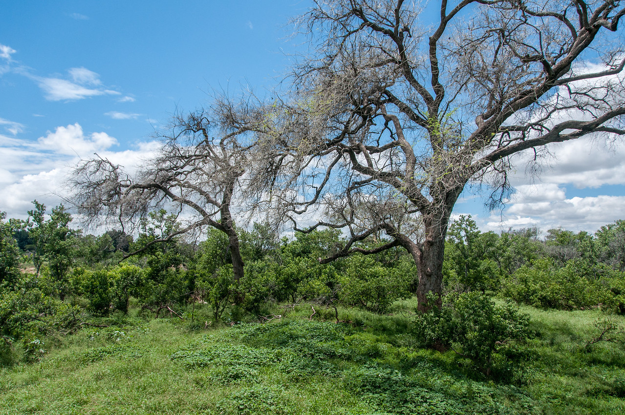 Flora at Mapungubwe National Park, South Africa