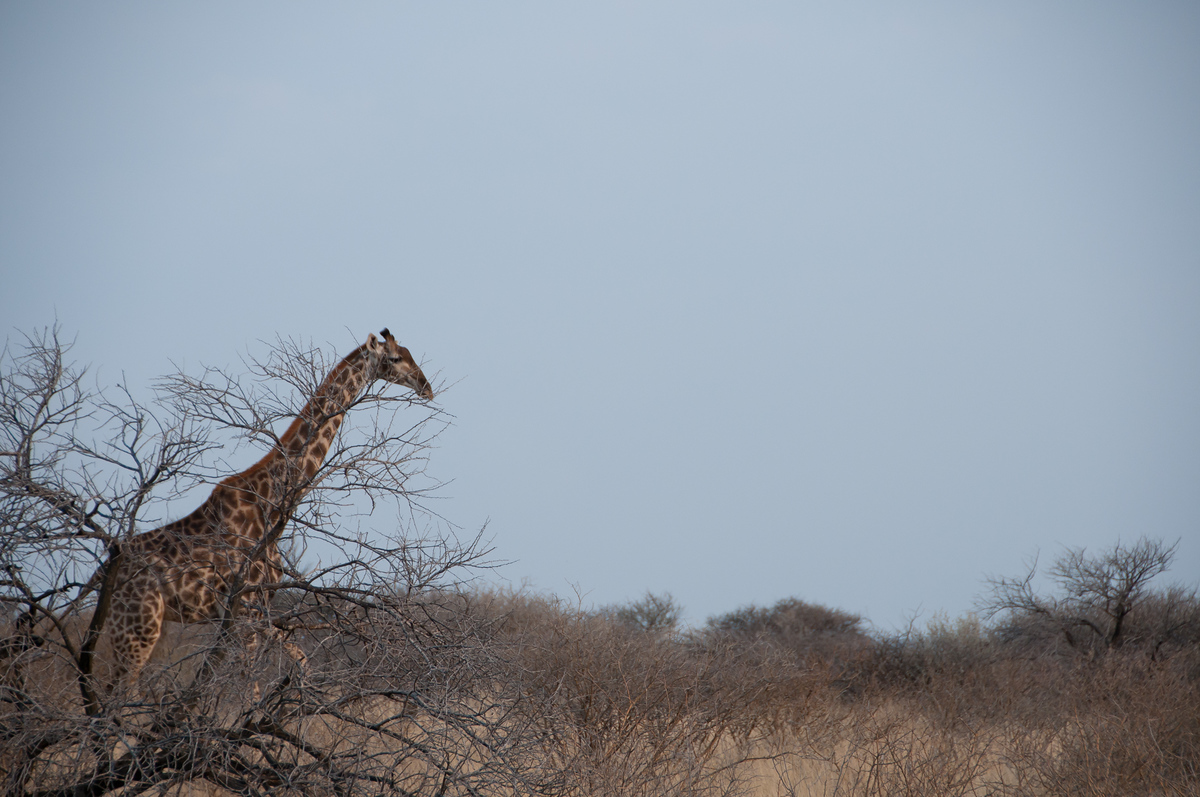 Giraffe in the bush, Mattanu Game Reserve, South Africa