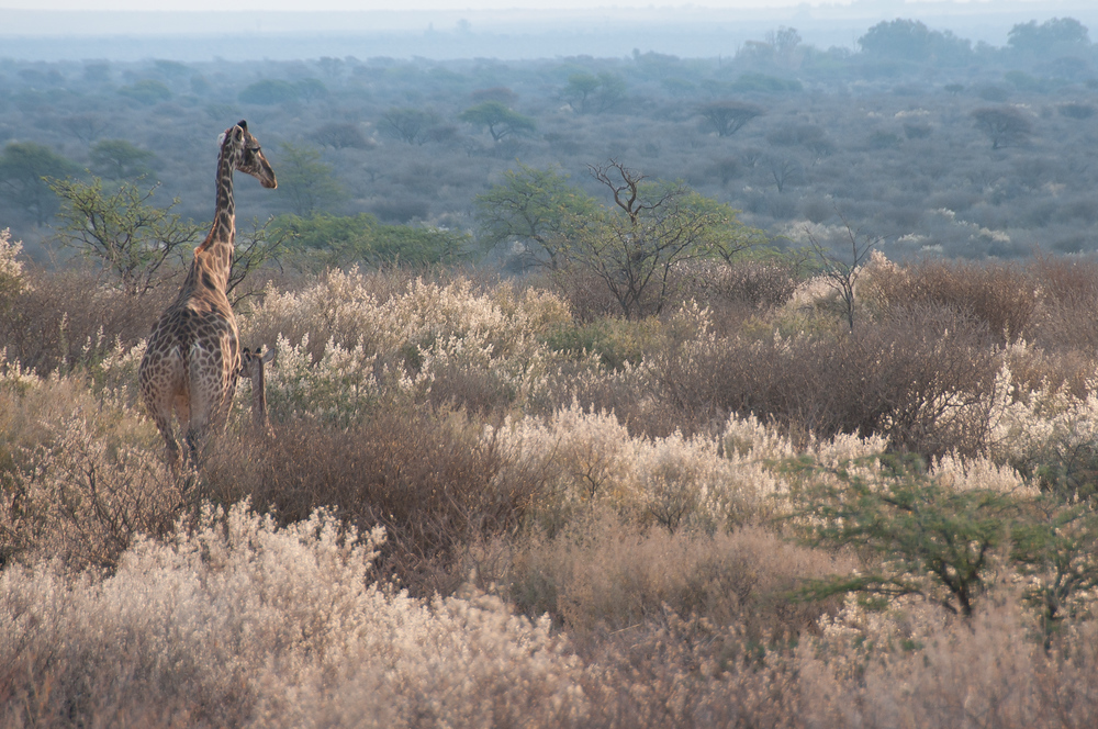 A mother giraffe and her baby near Kimberly, South Africa