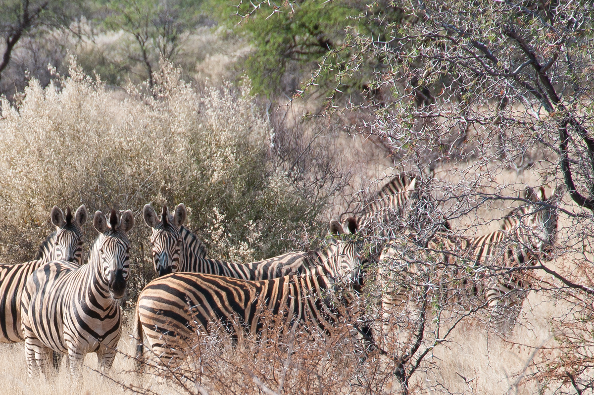 Zebras in the bush, South Africa