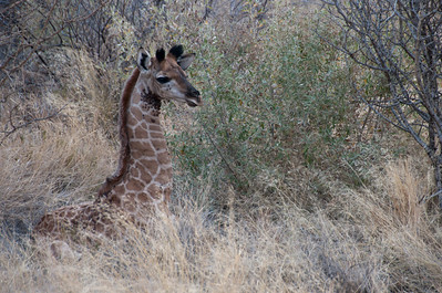 Baby giraffe in Mattanu Private Game Reserve, South Africa