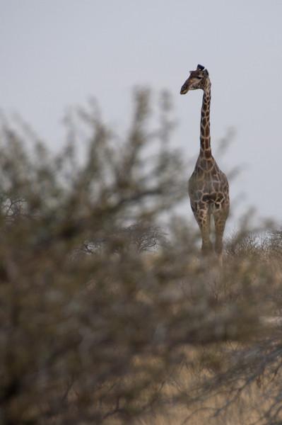 Giraffe in Mattanu Private Game Reserve in South Africa
