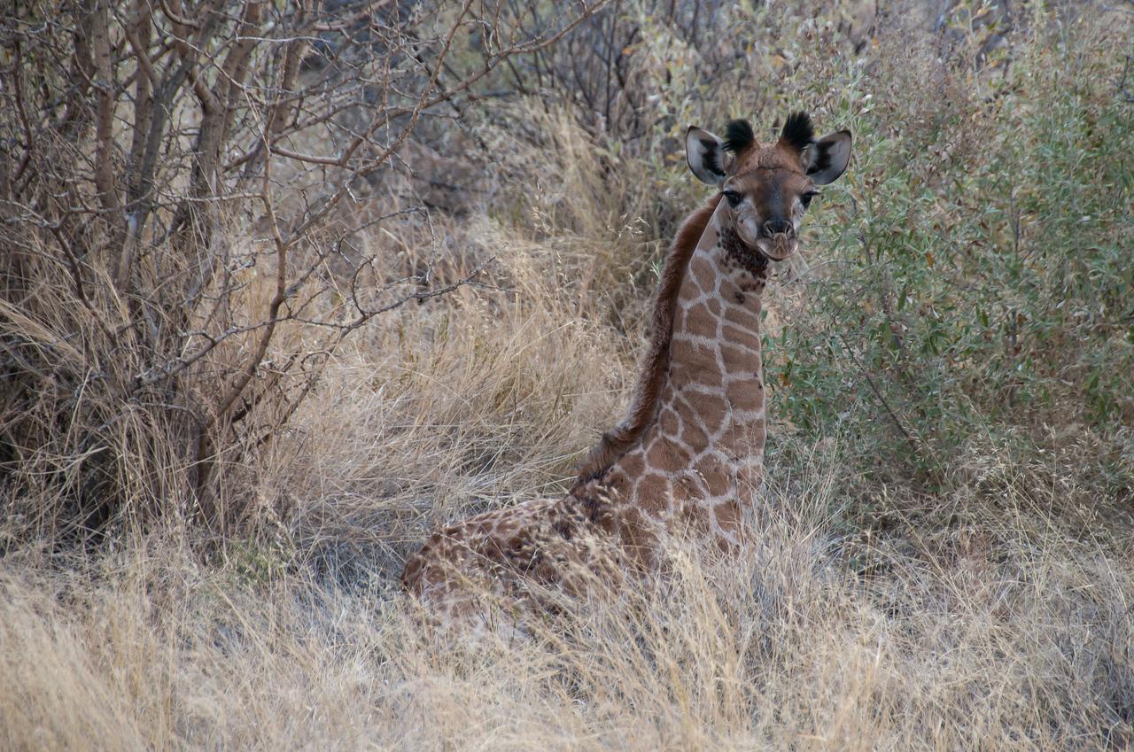 Baby giraffe in Mattanu Private Game Reserve, South Africa
