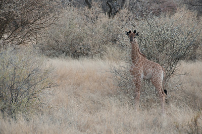 Baby giraffe in Mattanu Private Game Reserve in South Africa