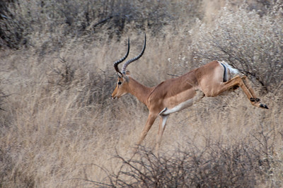 Pronghorn in Mattanu Private Game Reserve in South Africa