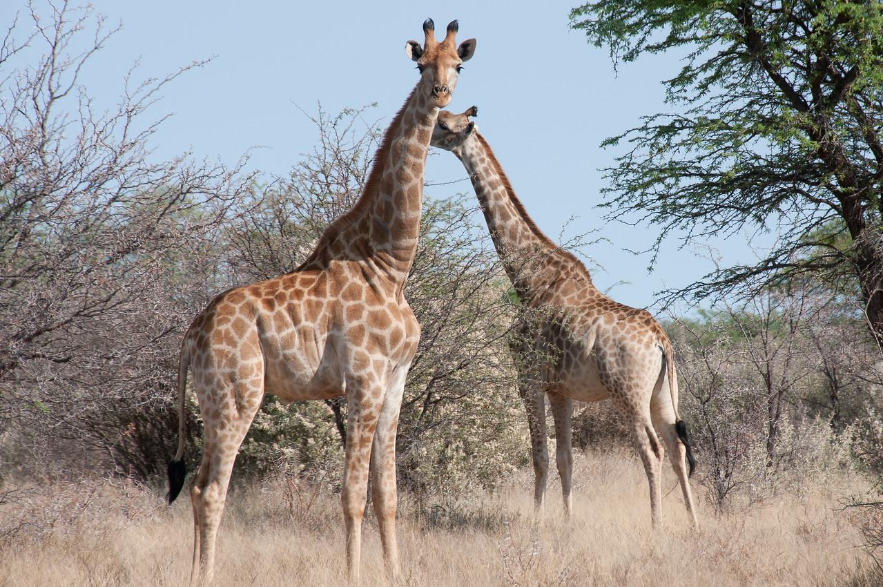 Giraffes in Mattanu Private Game Reserve in South Africa
