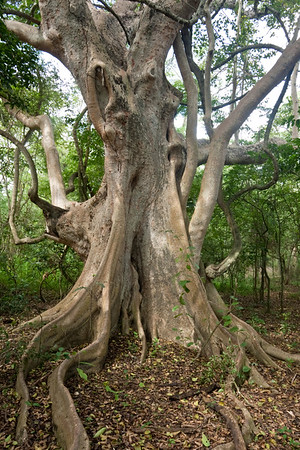 Giant Fig Tree Forest