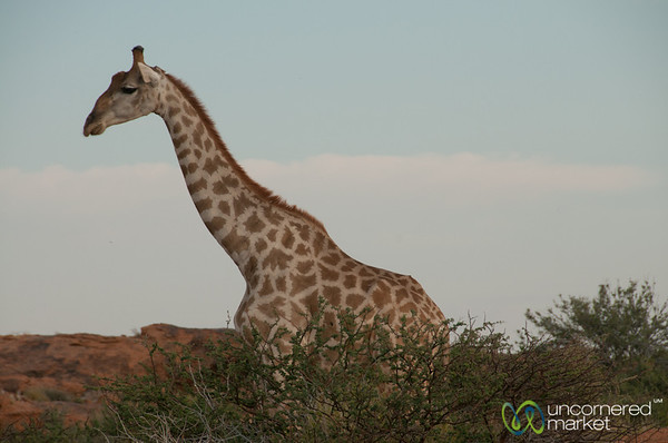 Giraffe at Augrabies National Park - Northern Cape, South Africa