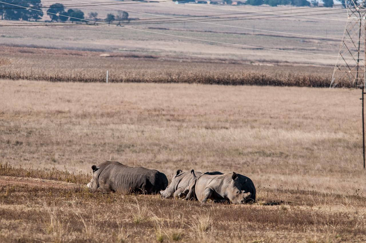 Rhinoceros in an open field in South Africa