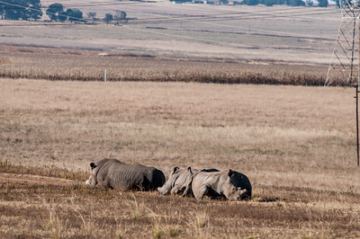 Rhinoceros in an open field in South Africa