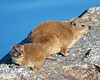 Cape Hyrax, or Rock Hyrax, <br /> (Procavia capensis)<br /> They are known as dassies in South Africa.  Cape Hyraxes produce large quantities of hyraceum (sticky mass of dung and urine) that has been employed by people in the treatment of several medical disorders, including epilepsy and convulsions.